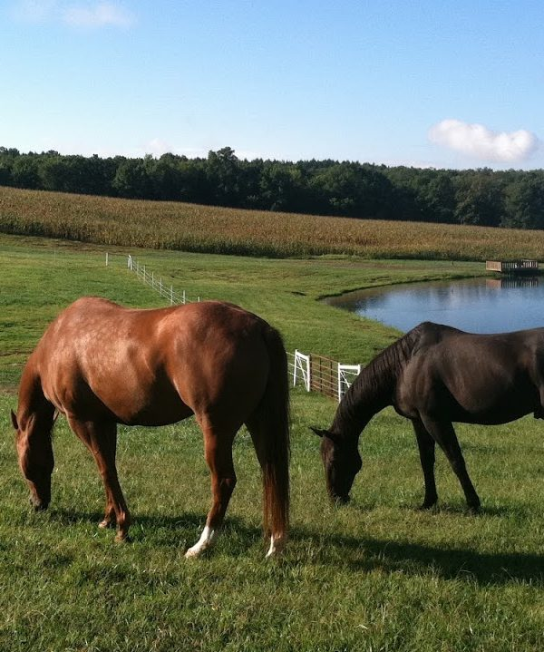 Picture of two horses eating grass